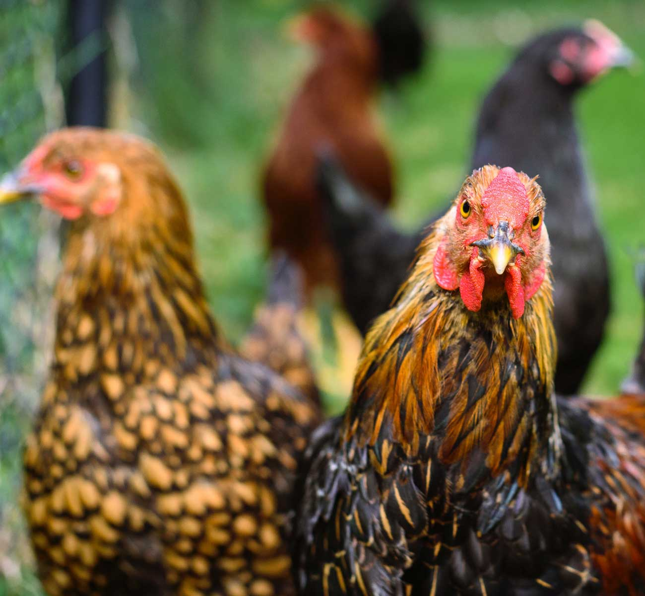 Rosewater Farm and Dairy • Our products: Pastured Chickens